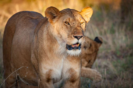 A lion. Lioness on the background of grass. Animals are africa. African lioness. Safari in Kenya. Kenya. Africa.