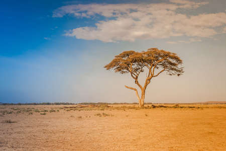 Kenya. Africa. Lonely standing African acacia in the savannah terrain. African trees. Sunny day. Panorama of Kenya. Safari in Africa.