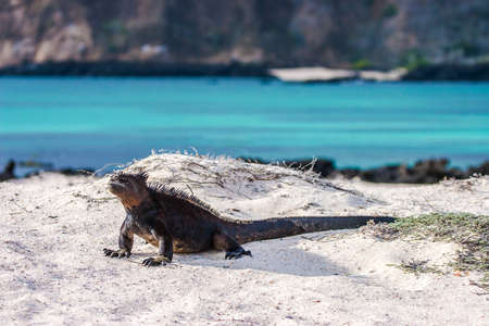 Galapagos Islands. Marine iguana. Galapagos marine iguanas. Lizard basks in the sun. Animals of the Galapagos Islands. Ecuador. Travel to Ecuador.