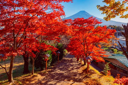 Autumn in Japan. Alley of Japanese maples on the background of mount Fuji. Autumn in Kawaguchiko. The road to Fujiyama. Maples with red leaves. Nature Of Japan.