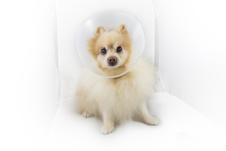 recuperate: Sick Pomeranian dog wearing a funnel collar on white box background , focus on dog Stock Photo