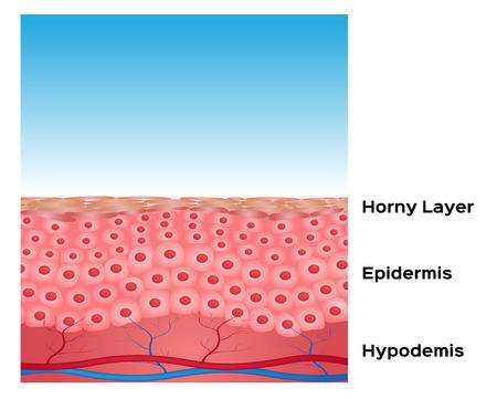 celulas humanas: Fondo del vector de la piel, anatomía de la piel