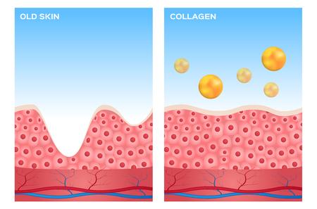 uva: collagen and skin vector , collagen apply on skin