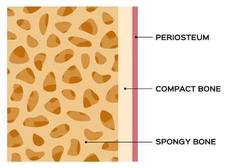 spongy: bone diagram vector chart , human bone Illustration