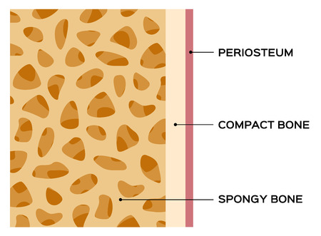bone diagram vector chart , human bone Illustration
