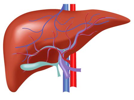 人間の肝解剖学、肝動脈と静脈の血とベクトル  イラスト・ベクター素材
