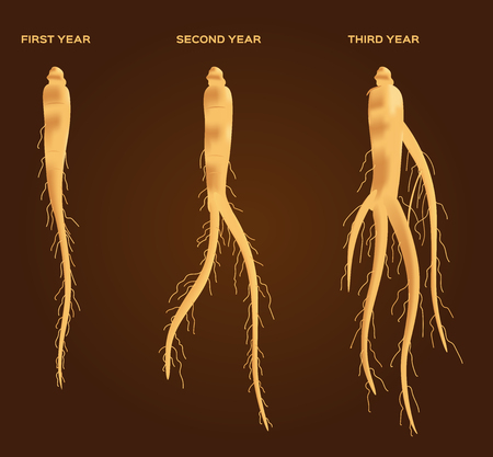oriental medicine: ginseng vector set , ginseng growth from 1 - 6 years