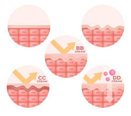 cc: cc , bb , dd cream and skin anatomy vector