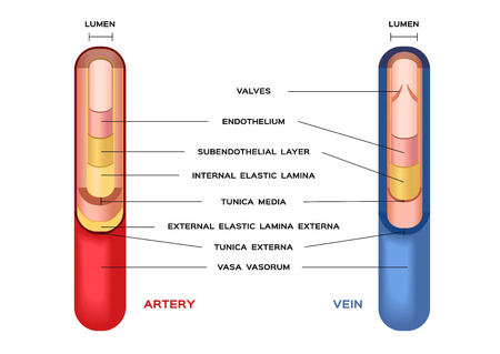 oxygenated: blood . artery and vein. Circulatory system. Vector. Red indicates oxygenated blood, blue indicates deoxygenated . vector