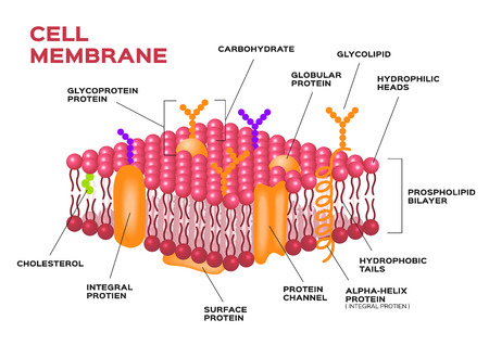 cell layers: Cell membrane , pink membrane vector