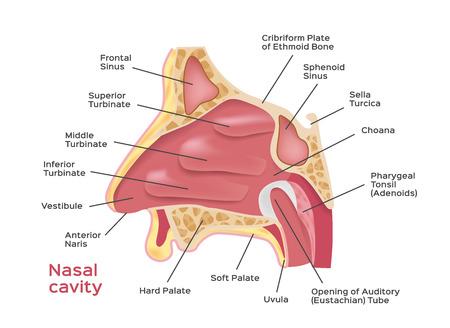 Nasal cavity . vector illustration of Human Nose diagram . inside of nose