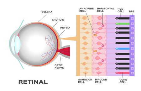 sclera: eye infographic: Photoreceptor in the retina of the eye. Structure and function rod and cone cells. Vector scheme