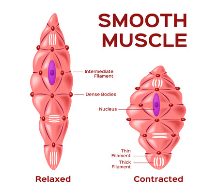 contraction: smooth muscle cell vector . anatomy . relaxed and contracted muscle cell Illustration
