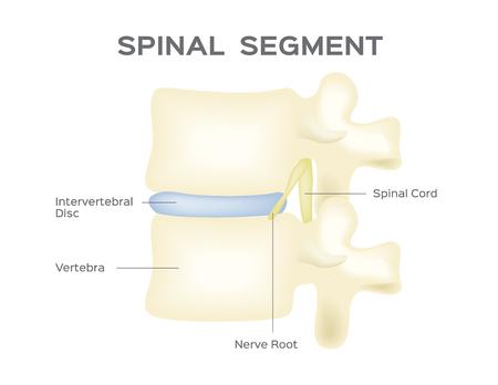 背骨のベクトル。解剖学.脊髄セグメント