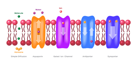 ions: Mechanisms for the transport of ions and molecules across cell membranes. Types of a channel in the cell membrane: simple diffusion, Aquaporin, Gated ion channel, Symporter and Antiporter . anatomy Illustration
