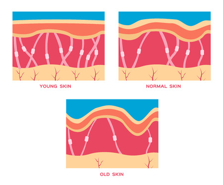younger: collagen in younger skin and aging skin , 3 type collagen skin vector version Illustration