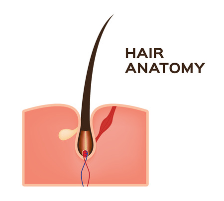 subcutaneous: Hair structure medical educational science vector illustration. Hair anatomy