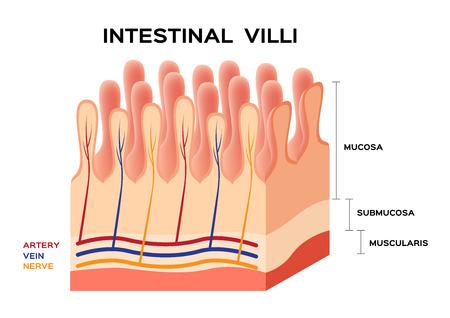 villi: Intestinal villi anatomy, small intestine lining. Illustration
