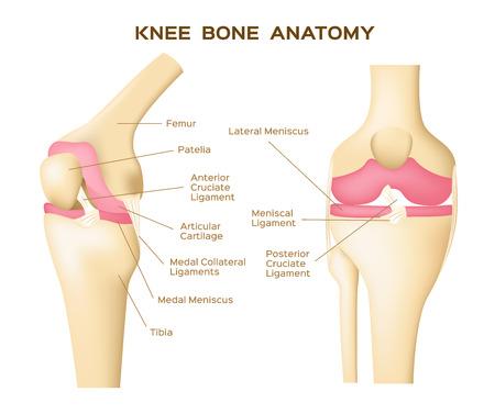 Knie Knochen Vektor. Anatomie. menschlichen Knie Infografik