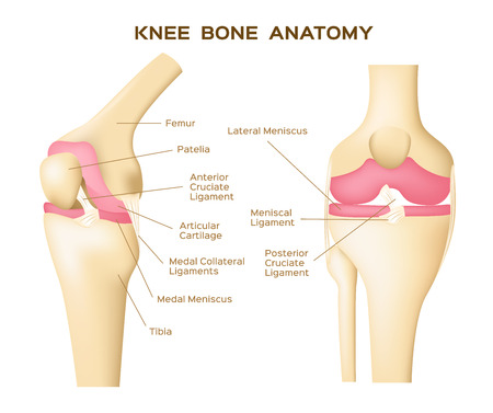 knee bone vector . anatomy . human knee infographic Illustration