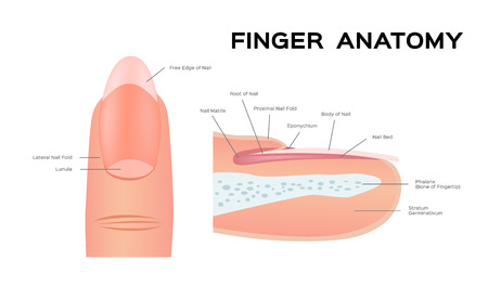 Structure of a Nail. human Nail . anatomy