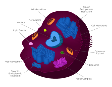 Cell cross section structure detailed colorful anatomy with description . Normal cell