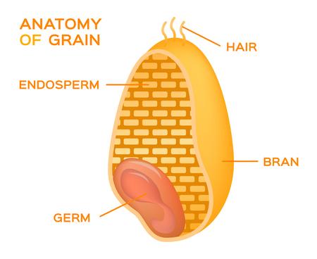 Grain keresztmetszet anatómia. Endosperm, csíra, korpaszín és ecset szőrszálak Illusztráció
