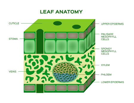 vector of a leaf anatomy on a white background