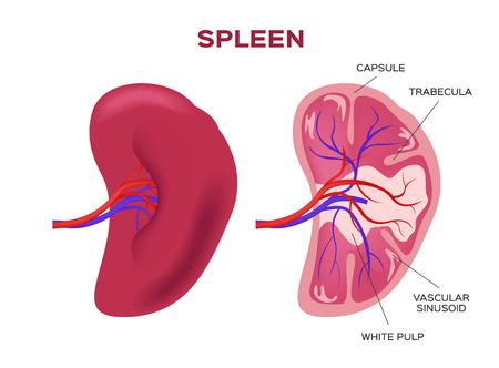 spleen vector