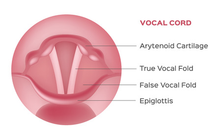 vocal cord vector , organ Illustration