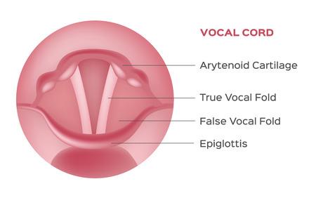 endoscopy: vocal cord vector , organ Illustration