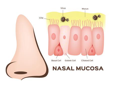 Nosa komórek błony śluzowej nosa w wektorze
