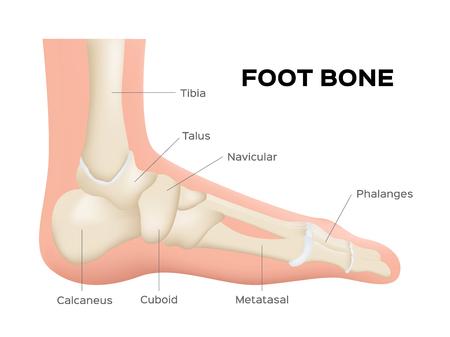 distal: anatomía ósea del pie humano. vector