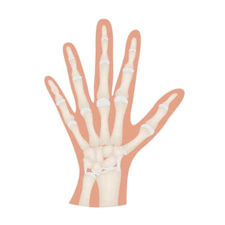 Hand bone anatomy vector