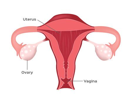 Uterus of human female vector