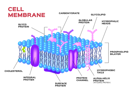 Cell membrane vector . anatomy