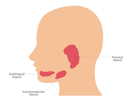 Salivary glands ( sublingual , submandibular and parotid gland )