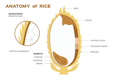 rice infographics . vector illustration infographic