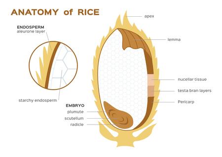 rijst infographics. vectorillustratie infographic Vector Illustratie