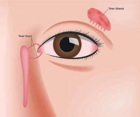 tear gland anatomy vector Illustration