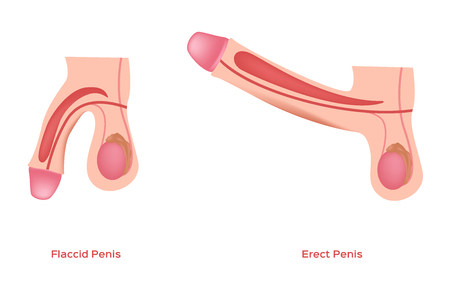 erect and flaccid penis and dick vector / sex education / graphic Illustration