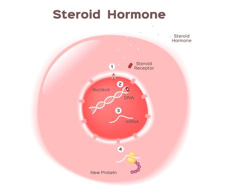 Steroid hormone illustration. Vektorové ilustrace