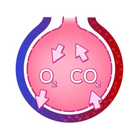 Alveolus w płucach. wektor wymiany gazowej. koncepcja anatomii. Ilustracje wektorowe
