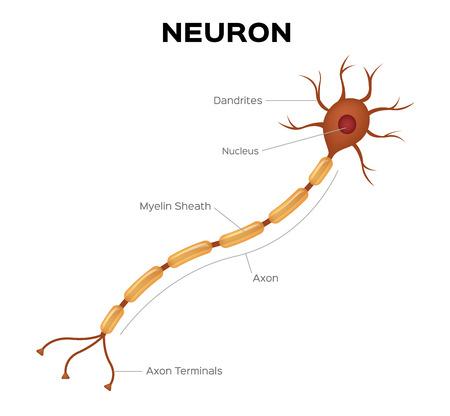 Neuron anatomy vector . infographic