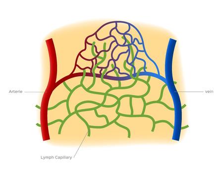 Échange de fluide capillaire Vecteurs