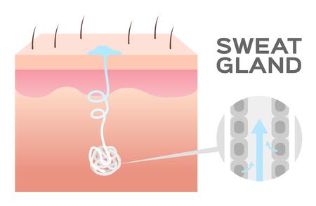 sweat gland vector illustration.
