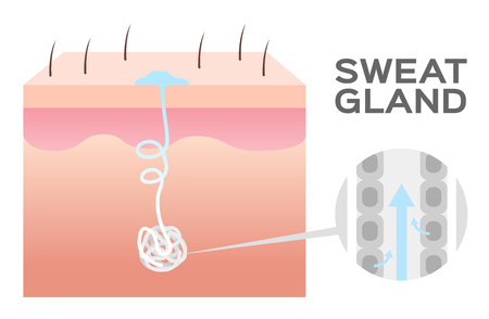 sweat gland vector illustration.