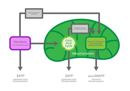 cellulaire ademhalingsvector / metabole reacties