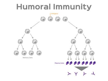 Humoral immunity vector, white blood cell illustration. Illustration