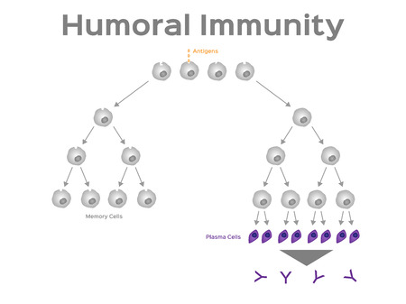 Humoral immunity vector, white blood cell illustration. Illustration